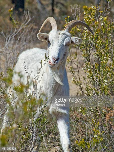 Feral goat Capra aegagrus hircus feeding on flowering native shrubs Calytrix in woodland feral goats are browsers that damage native vegetation...