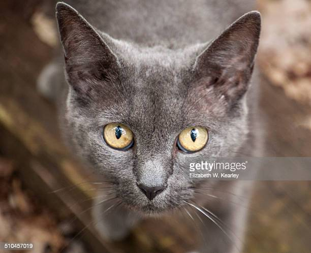 Feral gray cat