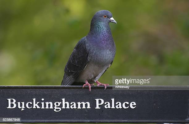 humour feral pigeon shows way to buckingham palace - perching stock photos and pictures