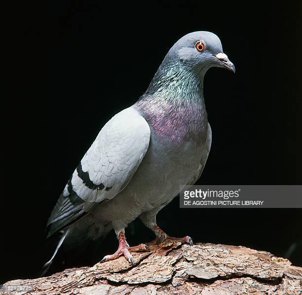 Feral pigeons Columbidae