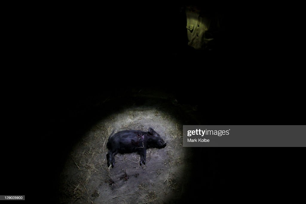 A feral piglet is seen in the torch light during hunting on Silver Plains Station on October 8, 2011 outside of Coen, Australia. Feral pigs are recognised as environmental and agricultural pests reported to have a population of up to 23.5 million over around half of Australia. The Cooktown Hog Hunt is held annually with this year's hunting window open from registration at 2pm on Friday to the end of weigh in at 2pm on Sunday afternoon.