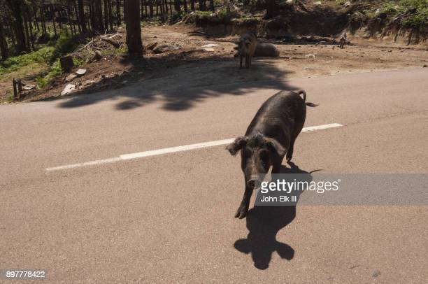 Feral pigs in road