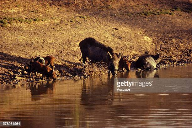 Feral pigs Sus scrofa two adults four piglets at waterhole Kinchega National Park New South Wales Australia