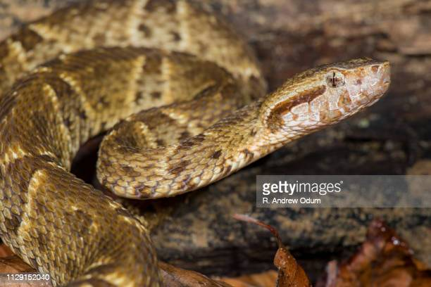 Fer-de-lance - sneaky and deadly