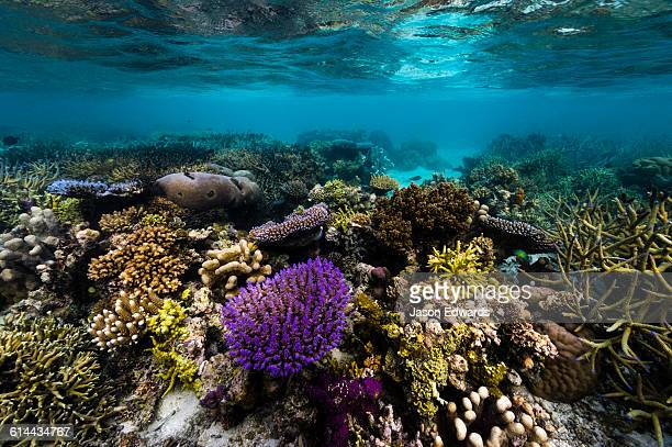 A bright purple hard coral sprouting from a flourishing tropical reef in shallow water.
