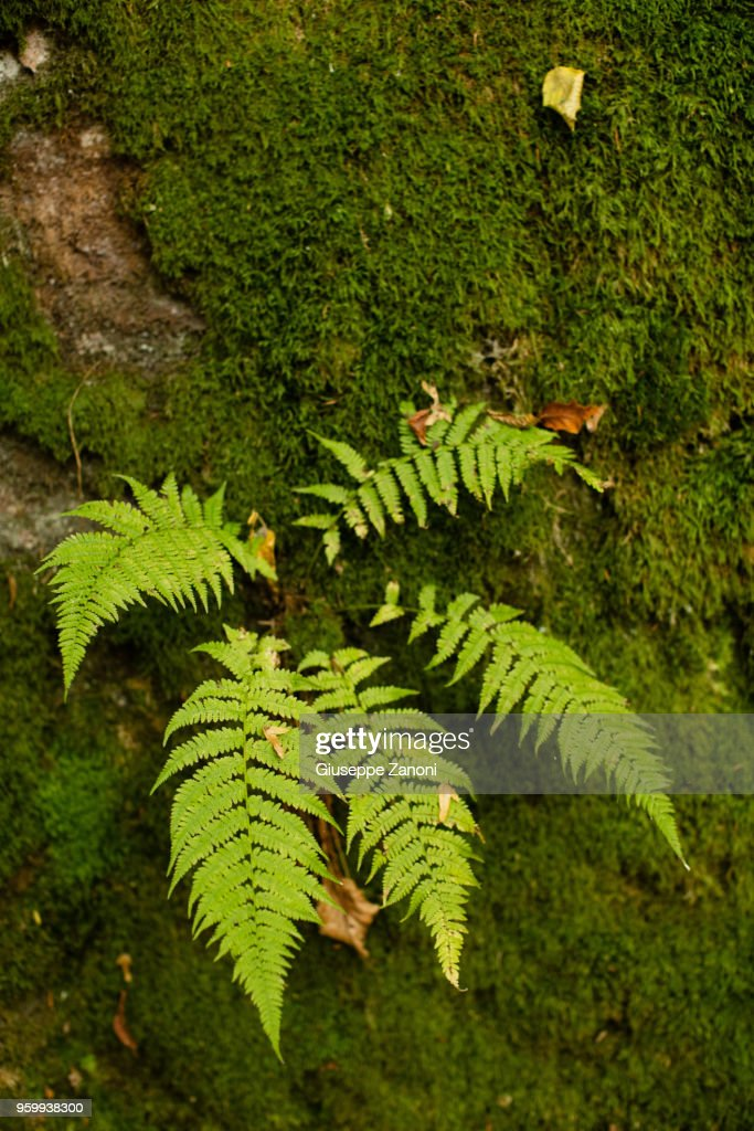 Fern and moss in the forest : Stock-Foto