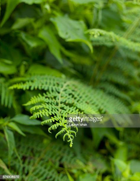 Fern at Ranamese Lake on Flores island