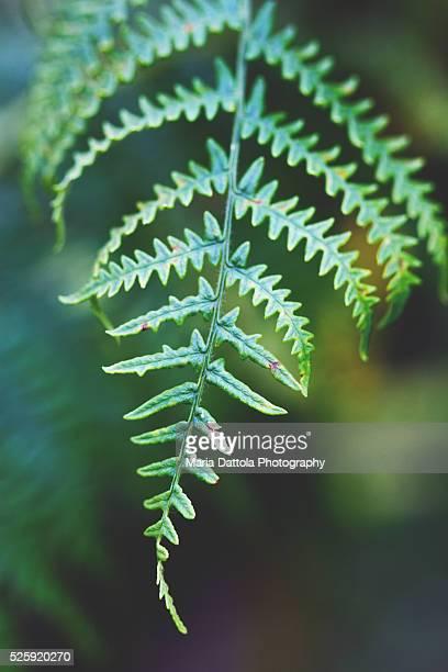 Fern branch (Pteridium aquilinum)
