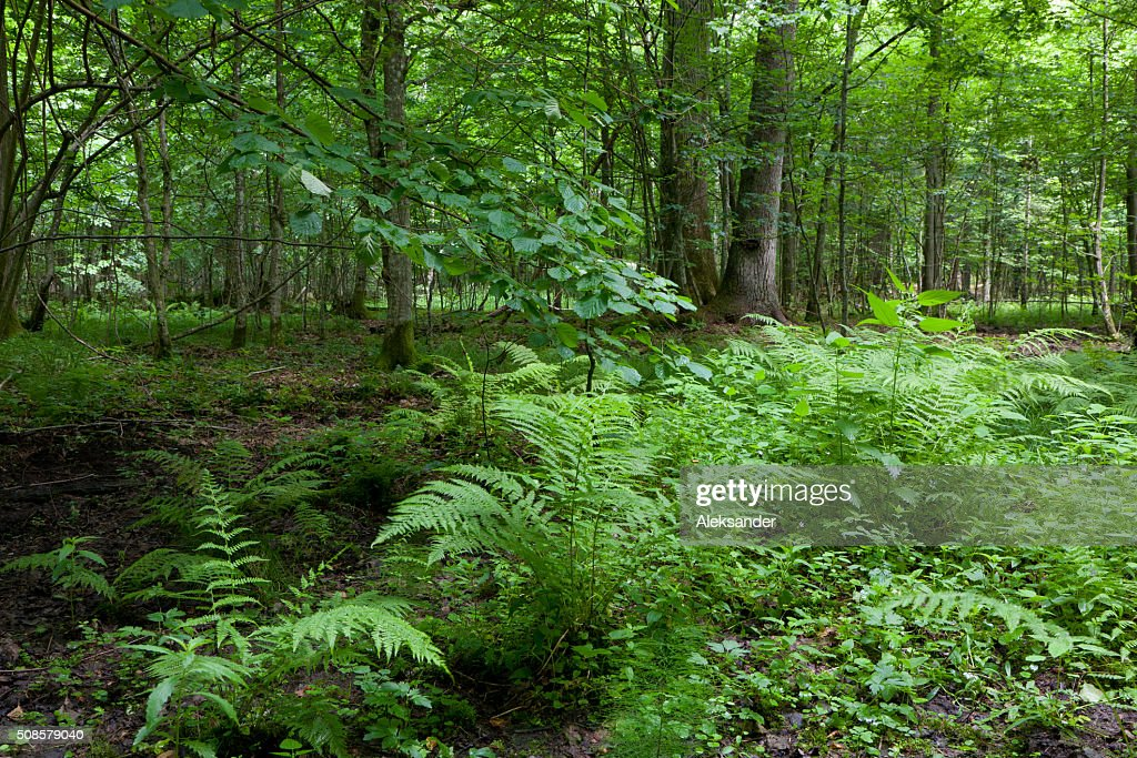Fern bunchs in summer forest stand : Stockfoto
