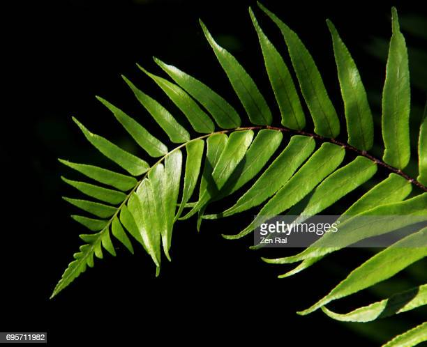 fern frond on black background - fern stock pictures, royalty-free photos & images