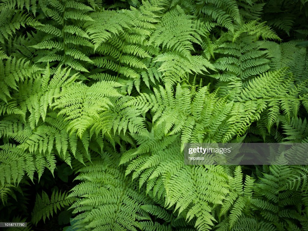 fern green vegetation background : Stock Photo