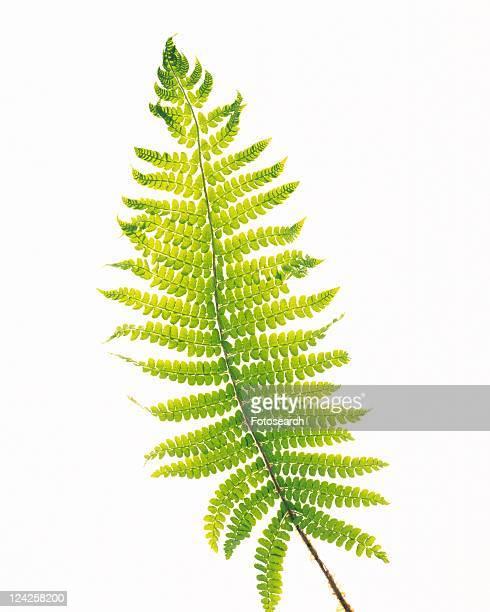 Fern Leaf, Close Up, Copy Space