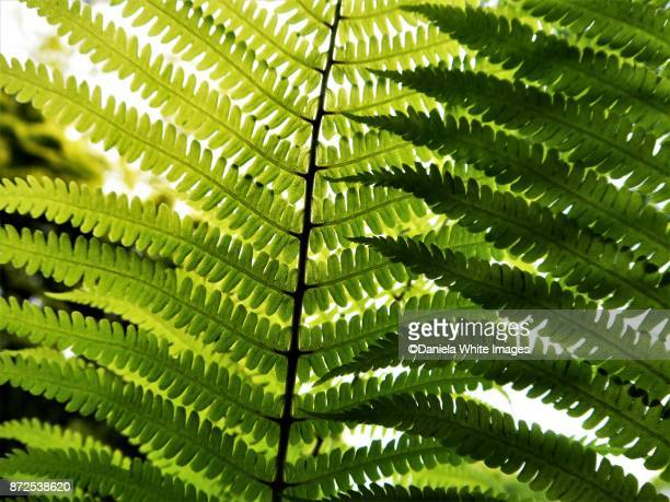 fern leaf - fern stock pictures, royalty-free photos & images