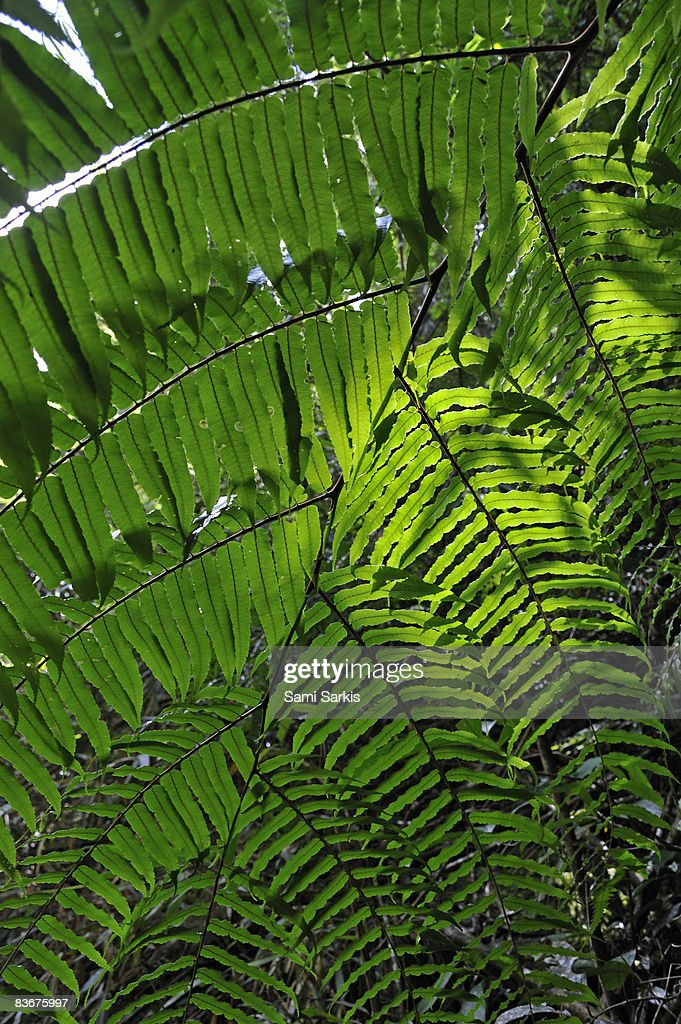 Fern leaves in rainforest : Stock Photo