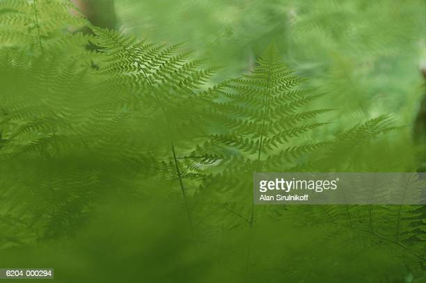 fern leaves - sirulnikoff stock pictures, royalty-free photos & images