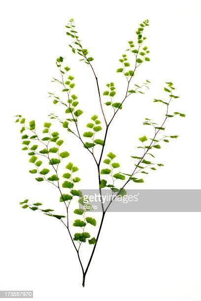 fern, maidenhair