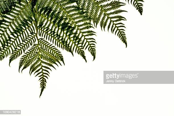 fern pattern - fern stock pictures, royalty-free photos & images