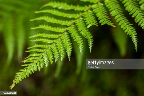 nz fern - fern stock pictures, royalty-free photos & images