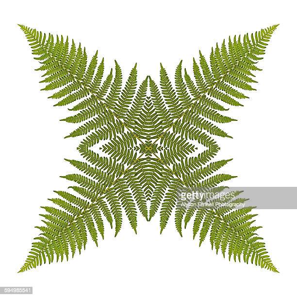 fern star perfection - alyson fennell stock pictures, royalty-free photos & images