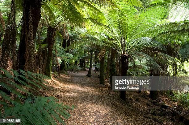 Fern trees Cyatheales on a track