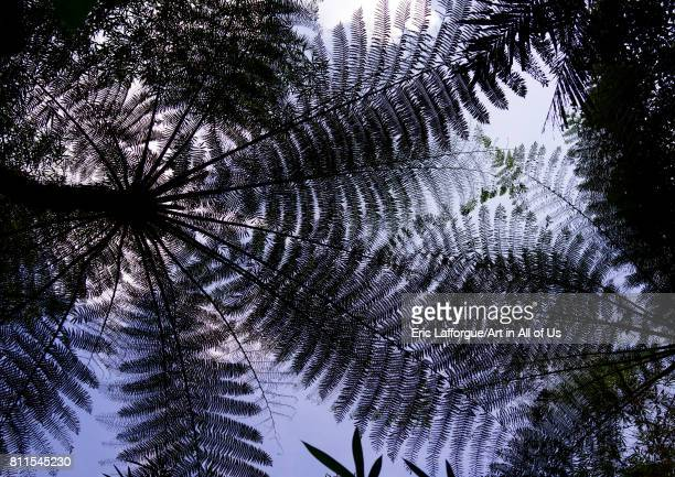 Fern trees seen from below Bali island Munduk Indonesia on July 21 2015 in Munduk Indonesia