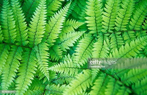 Fern variety not identified
