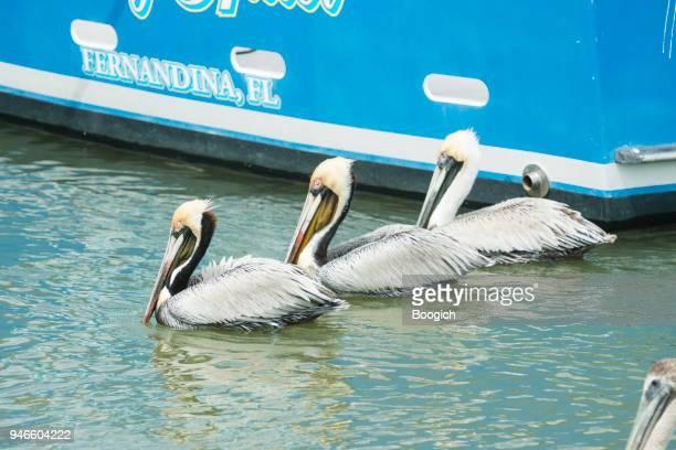 Fernandina Beach Pelican Birds in Water by Marina Florida USA