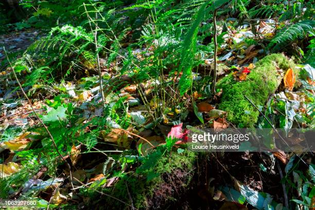 ferns and autumn leaves on the forest floor in smoky mountains national park - roaring fork motor nature trail stock pictures, royalty-free photos & images