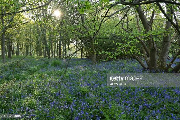 Ferns and bluebells are seen in the early morning light in Dover Woods in southern England, on April 26 during the national lockdown due to the novel...