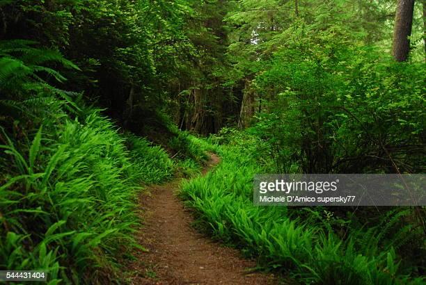 ferns and sitka spruces. - foresta temperata foto e immagini stock