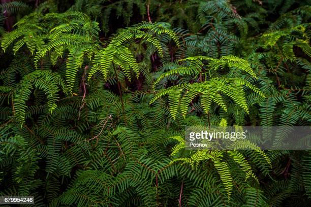 Ferns at Hidden Bay at South West Cape trail, Southwest Tasmania