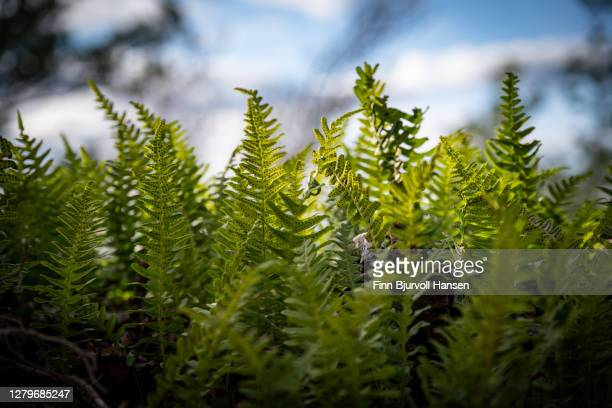 ferns at hommern near larvik vestfold norway - finn bjurvoll stock pictures, royalty-free photos & images