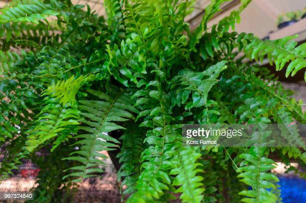 Ferns, ferns, or fetas are vascular plants that do not produce seeds - they are reproduced by spores, which give rise to a short-lived individual (protalo), which in turn produces gametes to give rise to a new plant. The fully developed plants are formed