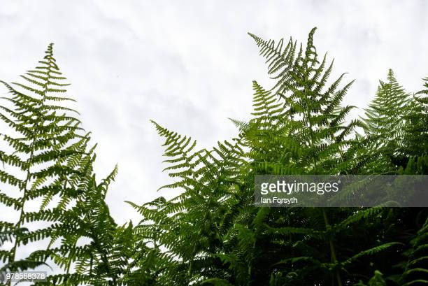 Ferns grow at Mount Grace Priory ahead of a media event to launch a new arts and craft style garden created by garden designer Chris Beardshaw on...