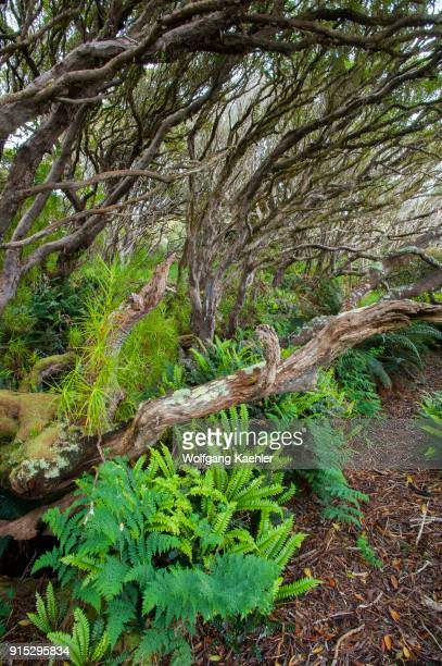 Ferns growing in the Rata forest on Enderby Island a subAntarctic Island in the Auckland Islands archipelago New Zealand