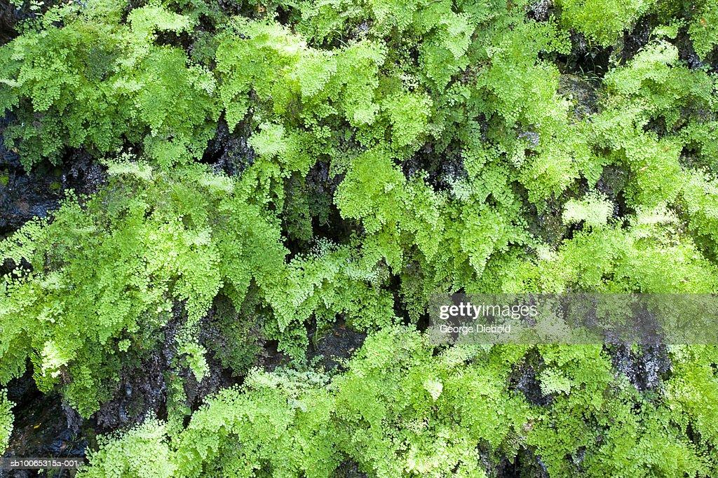 Ferns growing on rock : Foto stock