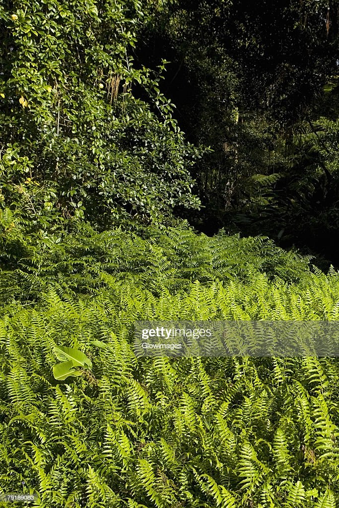 Ferns in a forest, Akaka Falls State Park, Hilo, Big Island, Hawaii Islands, USA : Foto de stock