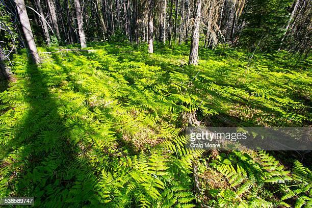 Ferns in Glacier National Park near West Glacier, Montana.