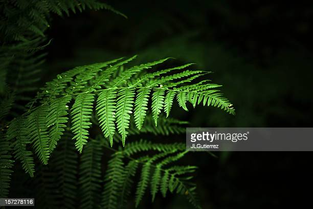 ferns - unripe stock photos and pictures