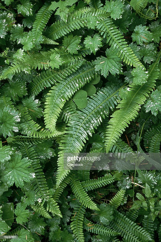 Ferns : Stock Photo
