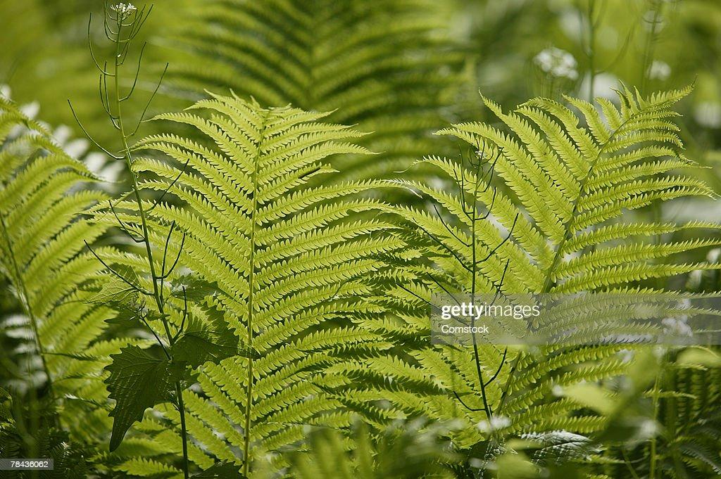 Ferns : Stockfoto