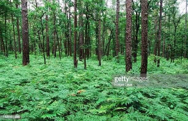 ferns, sam houston national forest near huntsville. - national forest stock pictures, royalty-free photos & images