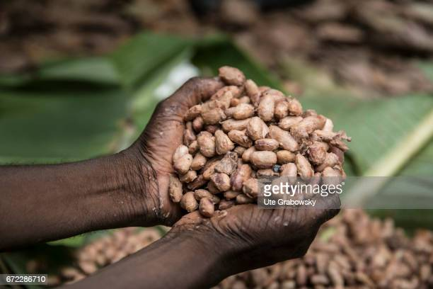 Adzopé Cote d'Ivoire March 01 Ferocious cocoa beans on a plantation of the project PROPLANTEURS an initiative for sustainable cocoa production After...
