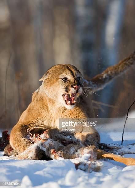 Ferocious mountain lion guarding its kill.