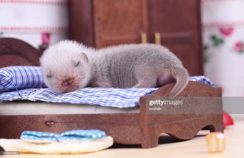 Hurón bebé en casa de muñecas : Foto de stock