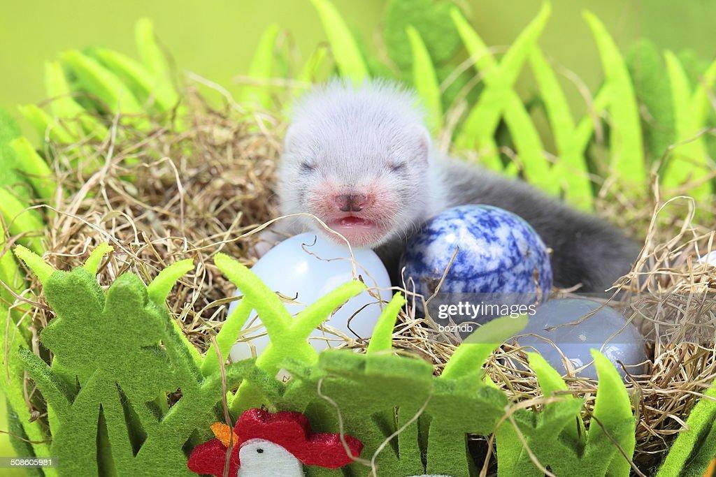 Hurón bebé en el nido de heno : Foto de stock