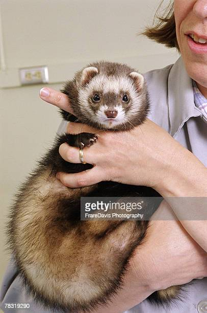 ferret in veterinarian office - female hairy arms stock photos and pictures