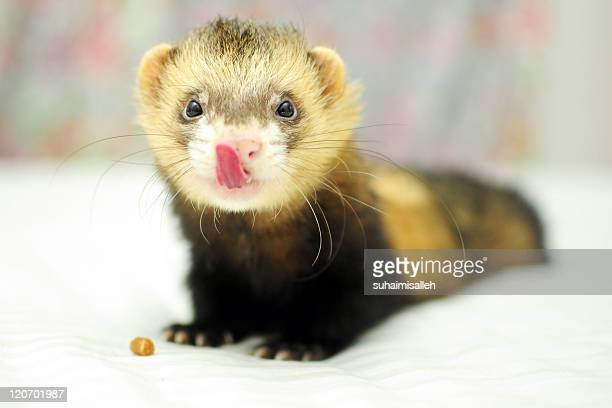 Ferret licking his nose