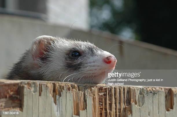 Ferret. looking away