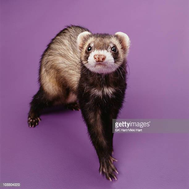 Ferret on purple background